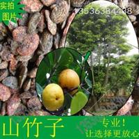 山竹子水竹果金赏罗蒙树酸桐木黄牙桔竹节果种子