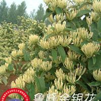鲁峰王金银花苗(树形,易管理,花期长,不开花)