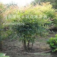 供应优质蜀桧、紫叶桃【南天竹】等绿化灌木苗木花木