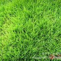 供用台湾草/绿化地被/隔热草