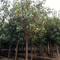 [供应小苗到40公分]菩提榕有袋苗,地苗价格电议