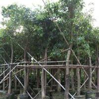 大量供应绿化树海南蒲桃从小苗到胸径40公分有袋苗地苗