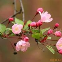 绿化苗木乔木垂丝海棠
