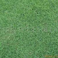 供应绿化苗木草坪护坡球场矮生百慕大