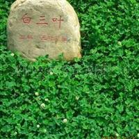 供应绿化苗木白三叶草