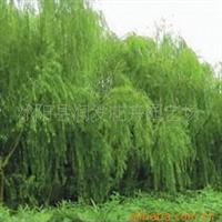 供应绿化苗木垂柳