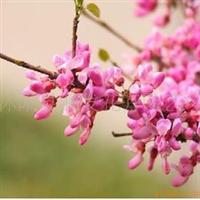 供应花木种子紫荆种子芍药种子杜仲种子鸢尾种
