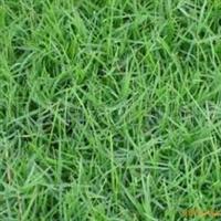 供应绿化苗木草坪护坡球场专用草坪狗牙根