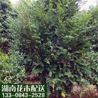 【供应湖南苗木】红豆杉花卉盆景室内健康环保绿植净化空气