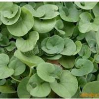 热带观叶草坪:马蹄金,马蹄金种子,常年批发供应