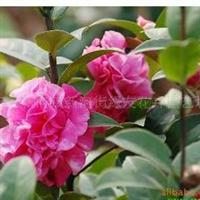 供应栀子花,含笑,牡丹,碰碰香,月季花等