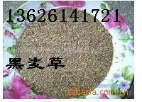 绿色地毯:草籽,高羊茅,多年生黑麦草等