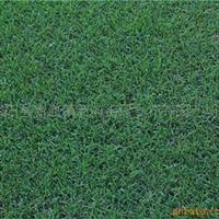 供应批发草坪种子:天堂草种子,每公斤38元(图)