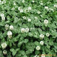 供应进口草皮种子:白三叶种子,地被观赏草坪,白三叶,四季青等