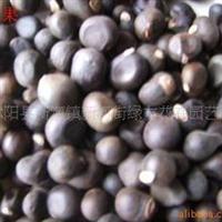 供应文冠果种子,无患籽种子,黄果树种子,合欢种子等