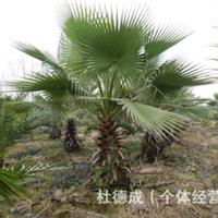 大量批发绿化苗木:(乔木)红枫基径5公分1000棵