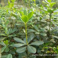 大量批发绿化苗木(灌木):40公分高海桐500000棵