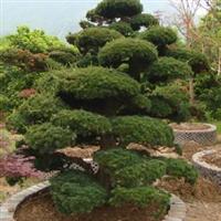 供应罗汉松盆栽净化空气有造型直销罗汉松栀子花夜来香