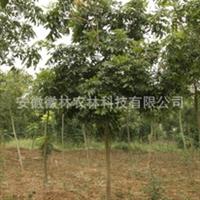 无患子木患子油患子园林苗木特价米径6公分地径7公分