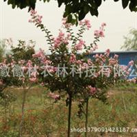 紫薇红花紫薇百日红园林苗木特价米径4公分地径5公分