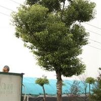 香樟乌樟园林苗木樟木子樟树特价米径11公分地径12公分