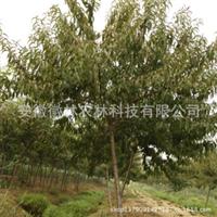 红叶桃碧桃红叶碧桃园林苗木特价米径5公分地径6公分