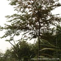 榉树红榉树园林苗木榉树小苗特价米径2公分地径3公分