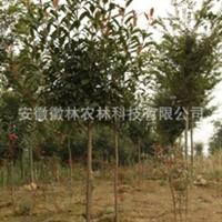 红叶石楠红罗宾红唇园林苗木特价米径3公分地径4公分