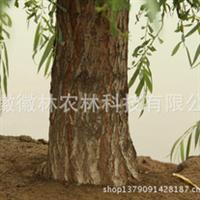 供应金丝垂柳公园园林绿化苗圃基地地径16公分米径15公分