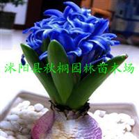 荷兰进口种子/风信子/洋水仙/郁金香/马蹄莲/各种球根花卉