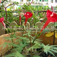 沭阳县秋桐园林苗木场供应彩包种子藤本植物槭叶茑萝种子原包装