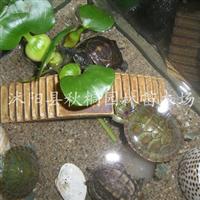 批发供应优质水生植物凤眼莲又名水浮莲、水葫芦/苗15-30cm高