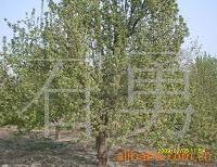 供应美化绿化海棠树