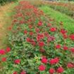 产地直销绿化苗木价格月季月季扦插苗工程苗