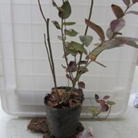蓝莓树苗,南高丛蓝莓夏普兰,蓝莓营养钵苗木,规格可咨询