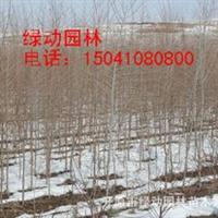 供应1.7米以上白榆白榆小苗优质白榆价格河南白榆白榆价格