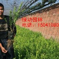 供应金叶水腊容器苗金叶水腊苗木报价绿化苗木园林绿化用苗