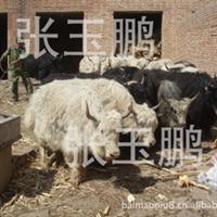 供应纯种白牦牛牦牛饲养管理