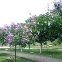 大叶紫薇专业乔木种植紫薇绿化苗圃树苗广东普宁花木场