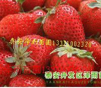 全明星草莓苗哈尔滨草莓苗哈尔滨奶油草莓苗适合黑龙江草莓苗