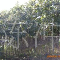 供应绿化苗木梧桐树行道绿化工程绿化