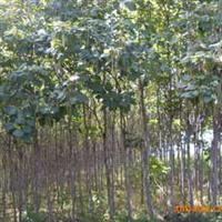 辽宁省智豪苗圃供应各种规格梧桐树