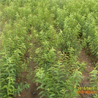 供应红花麦里,麦里小苗,各种绿化苗木