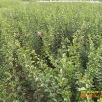 供应绿化苗木金银忍冬,红花忍冬,灌木,忍冬小苗