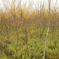 苗木基地常年供应-国槐、法桐栾树樱花等园林绿化苗木