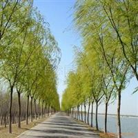 济宁大自然园林常年出售黄金柳黄金槐