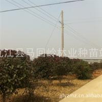 供应红叶石楠球P:150-200CM,低价批发供应江西红叶石楠
