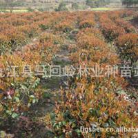 供应红叶石楠球精球毛球红花继木球茶花球园林绿化造林