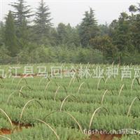 供应雪松一年苗江西工程绿化造林行道雪松种子小苗