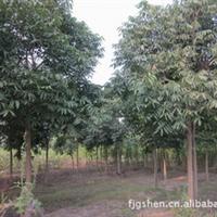 供应无患子8-12公分造林绿化江西九江马回岭种苗